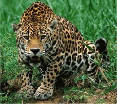 Jaguar_thumb.jpg
