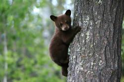 oso-negro