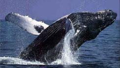 ballena-gris