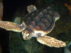 tortuga-caguama