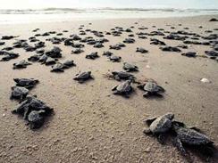 tortugas-recien-nacidas