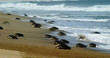 tortugas-golfina