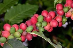 banner-planta-cafe-roya