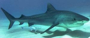Imagen: Tiburón tigre (Galeocerdo cuvier) en las Bahamas / Foto: Albert Kok.