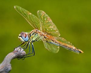 insecto-libélula-2