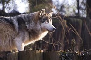 lobo-mexicano-2