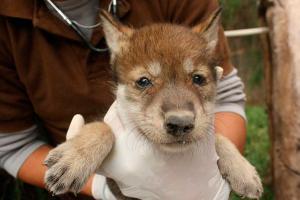 cría-lobo-gris-mexicano